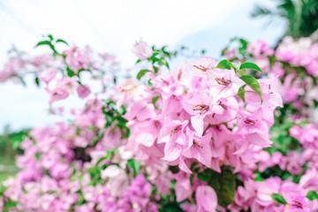 White pink bougainvillea flowers