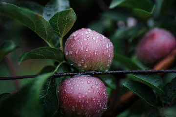 Close-up of wet apples growing on fruit tree