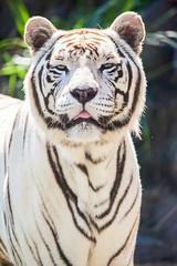 Weisser Sibirische Tiger