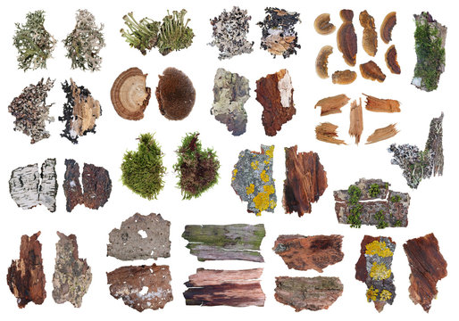 Fragmente of natural european forest  gray and yellow moss and  lichen  plants on tree bark isolated set