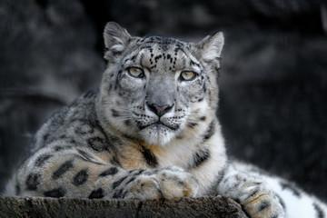 In de dag Luipaard resting snow leopard portrait