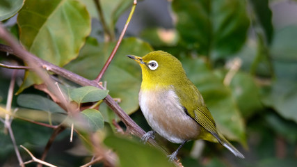 green and yellow bird Japanese zosterops portrait