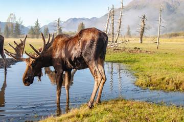 Moose standing on lakeshore
