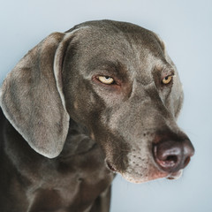 Close-up of Weimaraner looking away against white background