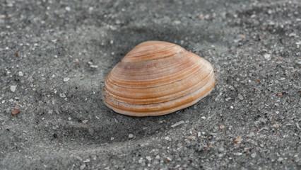 Pfeffermuschel am Strand