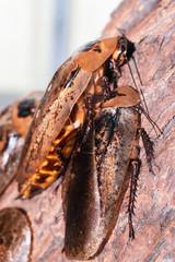 big exotic cockroach