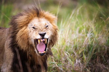 Close-up of lion roaring while standing on grassy field at Maasai Mara National Reserve