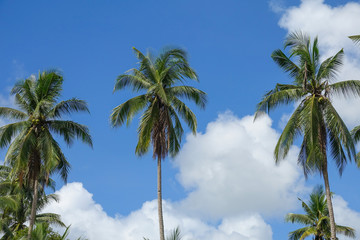 Coconut plam tree on a blue cloudy sky.