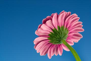 gerbera daisy macro on blue sky