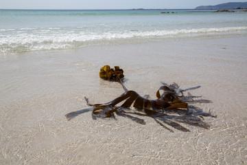 Seaweed at Pindo Beach; Coruna; Galicia