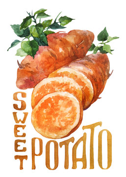 Sweet potato. Hand drawing watercolor on white background with title.