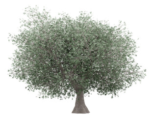 olive tree isolated on white background