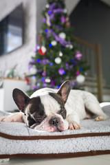 French bulldog lying down under the christmas tree