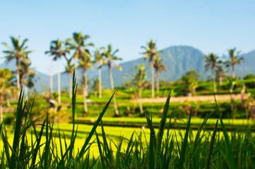 Close up of green rice field and palm trees in the background. Texture of growing rice, green grass. Rice farm field paddy. Selective focus. Ubud Bali Indonesia. Natural beautiful tropical background