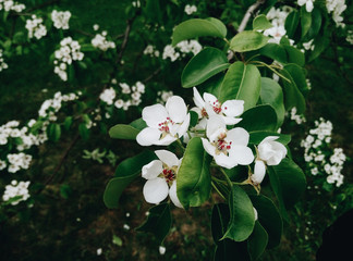Beautiful blooming cherry tree with white flowers