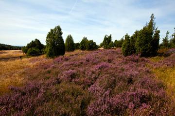 Lüneburger Heide bei Wilsede
