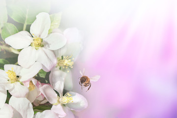 Spring pink background with blossom flowers and bee.Space for text presentation