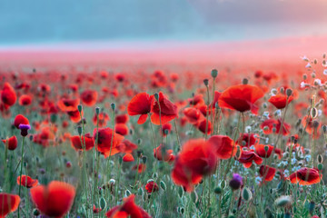 Foto auf Leinwand Rosa hell Field of poppies on a sunset