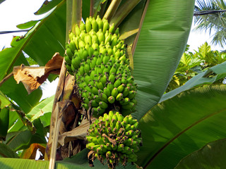 Banana palm with a bunch of fruits