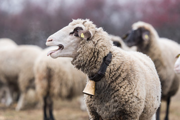 Bautiful sheep with bell round her neck