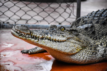 Crocodiles Resting and sharp teeth at Crocodile Farm in Thailand