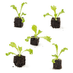 Endivien (Cichorium endivia) Jungpflanzen