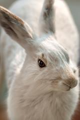 Closeup of a White Rabbit - Portrait