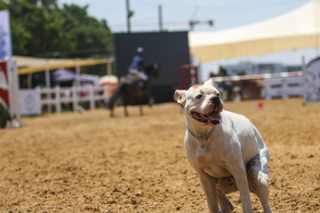 Dumping dog in horses jump arena