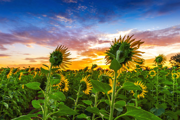 Wall Mural - field of blooming sunflowers at sunrise.