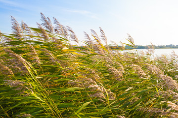 Close and Far at the Lake / Reed grass dandle in wind at lake in Mecklenburg state (Germany) on sunny day