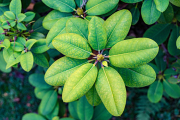 green leaves of a rhododendron