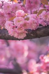 Lush  sakura  blossoms in the spring.
