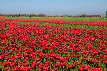 Tulips, Tulpnefeld, Holland