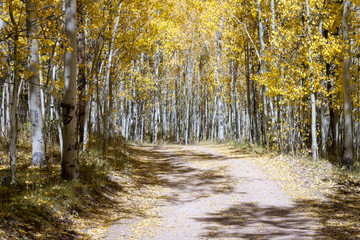 Dirt road winds through a thick forest of golden yellow aspen trees in a colorful Colorado fall landscape scene on Kenosha Pass