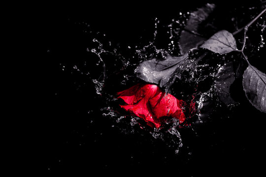 A red rose splashing into water. Valentine, black and white, love, romantic, beautful concept.