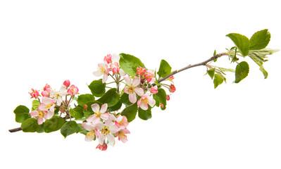 apple flowers isolated