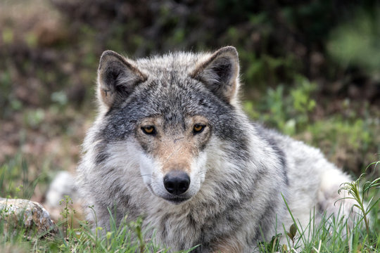 A grey wolf laying on the ground and relaxing in the forest. Animal and wildlife portraiture.