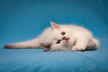 Charming white British kitten with blue eyes lies quietly on a blue background and looks up.