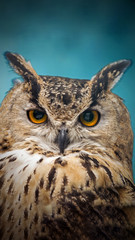 Wall Mural - A close look of the orange eyes of a horned owl on a blured background.