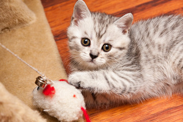 A small striped gray white British kitten playing with a toy lying on the floor and looking at the camera, top view.