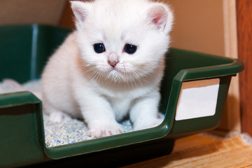 Tiny white British kitten sitting in a tray with cat litter, kitten muzzle stained with milk that he recently ate.
