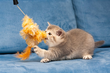 Gray British kitten plays with the furry orange toy on the blue sofa, the cat biting the toy.