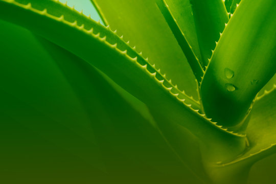green aloe leaf with water drops