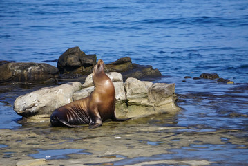 A Sea Lion sitting on the rocks of the coast