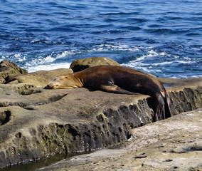 Sea Lion sleeping on the rocks