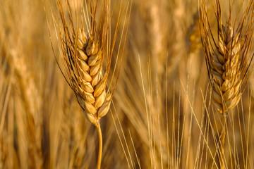 Épi de blé gros plan en été.