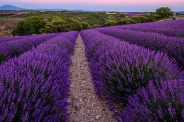 Garden Poster Lavender Champ de lavande en Provence. France. Coucher de soleil.