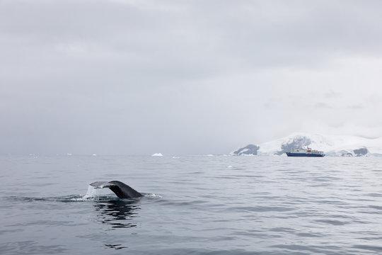 Humpback whale fluke and ship