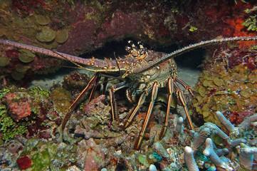 Languste am Palancar-Riff, Mexiko