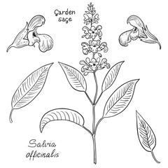 Set of garden sage